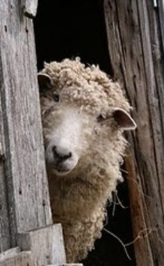Sheep looking out the door
