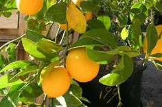 Learn how to grow your own Citrus Fruits, including Limes, Oranges and Lemons in this practical Garden Fruits guide.