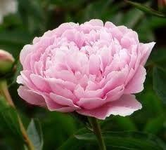 sarah bernhardt rose