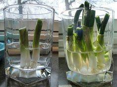 Regrowing spring onion