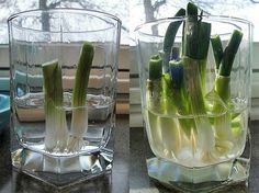 Regrowing spring onion
