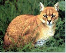 The African Golden Cat remains an enigma in the cat world. About twice the size of a domestic cat, they are very sturdy, powerful animals, with stout, relatively short legs and large paws. The African golden cat is about twice the size of a large domestic cat and robustly built, weighing as much as 16 kg (26 lb). Its fur varies from marmalade orange-red to sepia-gray, and each color phase may be spotted all over, unspotted, or somewhere in between.