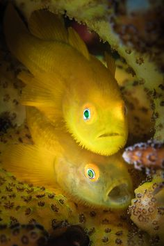 """lifeunderthewaves:Yellow Hairy Gobies by lynnwu It's poppy yellow colour and eyes reflect strobe light in green or blue colour – makes it stand out and an attractive critter for Photographers, Videographers and normal divers alike.  """"Underwater Photo Marathon 2015"""" Fish Category / 3rd prize  Paragobiodon xanthosoma (Gobiidae)"""