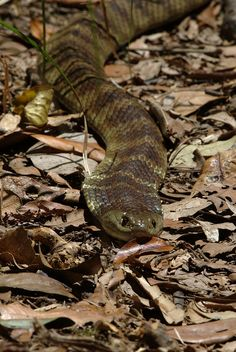 The Tiger Snake is one of the 10 deadliest terrestrial snakes in the world. 40-60% of untreated bites result in death. They are native to Australia and Tasmania.
