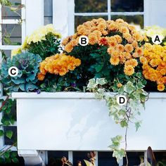 Create a Wonderful Window Box: Mums are among the most widely used fall plants. Use them to fill your window boxes for a burst of autumn color.        A. Yellow mum (Chrysanthemum 'Draga') -- 2        B. Bronze mum (Chrysanthemum 'Denise') -- 4        C. Flowering kale (Brassica 'Osaka Purple') -- 2        D. Variegated ivy (Hedera helix 'Glacier') -- 1