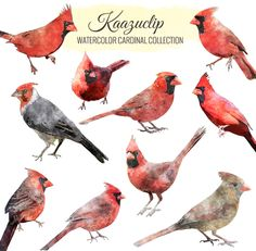 Watercolor Cardinal Collection-10 pieces - is a collection of my Watercolor sets! 10 piece clipart set for personal and commercial use includes all colors seen, perfect for scrapbooking,