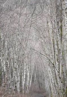 Avenue of birches, Squamish Sea-to-Sky Hwy, Squamish, BC V0N, Canada