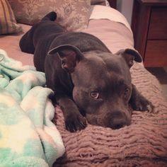 My precious Blue staffy #bully #dogs #pitbulls #mypets