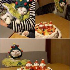 Merry Christmas✨✨① ハッチャン!写真撮るからウロウロせんと、ジッとして〜!おこちゃんどこ行った〜? #八おこめ動く #八おこめズラ #八おこめ #ねこ部 #cat #ねこ #八おこめ食べ物 #クリスマス #クリスマスケーキ #クリスマス猫パーチー