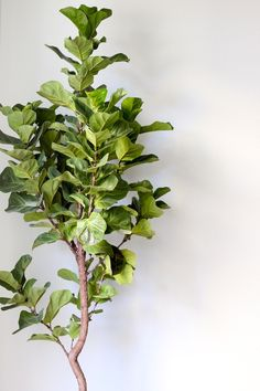 Fiddle Leaf Fig | Green | Brown | Indoor