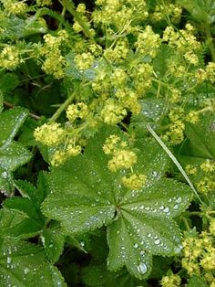 Lady's Mantles, Alchemilla - Flowers - NatureGate Forest Flowers, Wild Flowers, Shade Garden, Garden Plants, Partial Shade Plants, Medicinal Plants, Botany, Finland, Natural Beauty