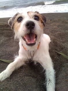 person russell terrier