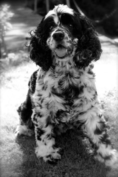 Wilson. #cockerspaniel. :)