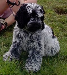 A very bonny Cockapoo puppy he was....