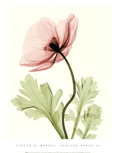 Iceland Poppy II (Med). Tattoo idea