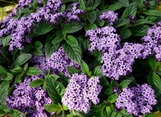 from karen.....HELIOTROPE, Cool Blue™ | Tried and True