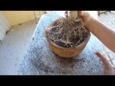 - Tutorial Como Levantar o Caudex das Rosa do Deserto - Adenium Obesum
