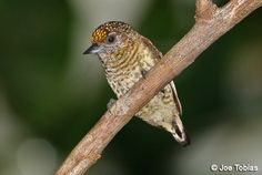 Bar-breasted Piculet Picumnus aurifrons - Google Search