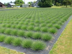 Browse photos of Victor's Lavender in Sequim, Washington, including processing, harvesting, lavender varieties, fields, greenhouses, Victor's trips & more.