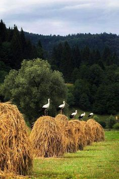 The peace and beauty of Bucovina county, Bucovina is a district in the north-east of Romania. Beautiful Birds, Beautiful World, Beautiful Places, Visit Romania, Mourning Dove, Relaxing Day, Mundo Animal, Farm Life, Amazing Nature