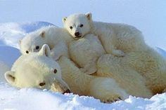 Mutterliebe ~ One of God's most beautiful animals. The Animals, Nature Animals, Cute Baby Animals, Funny Animals, Wild Animals, Baby Polar Bears, Cute Polar Bear, Photo Ours, Bear Photos