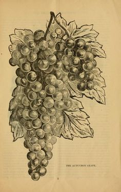 Illustrated descriptive catalogue of grape vine...