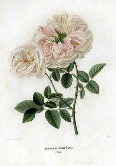 """Annica Bricogne: Rosa """"Duchesse d'Orléans"""""""