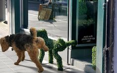(‾̀◡‾́) An Airedale's Dance move? Picture 25 in list of photos at the source link: http://thechive.com/2012/09/19/animals-that-dont-suck-50-photos/