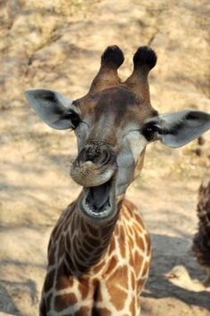 Rindo das suas atitudes infantis - Laughing at their childish attitudes (young giraffe) Smiling Animals, Happy Animals, Zoo Animals, Cute Baby Animals, Animals And Pets, Funny Animals, Wild Animals, Giraffe Pictures, Animal Pictures