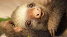A Hoffmann's two-toed sloth relaxes (credit: Rosanne Tackaberry / Alamy) Pictures Of Sloths, Cute Sloth Pictures, Cute Baby Sloths, Cute Baby Animals, Fluffy Animals, Three Toed Sloth, Les Continents, Cute Animal Videos, Spirit Animal