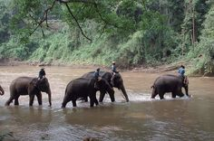 Elephants wading by Roving I