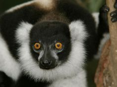The well-surfaced road between Antananarivo and Toamasina is one of Madagascar's most travelled, with most folk flocking in this direction to see (and hear) the indri, Madagascar's biggest lemur, in Parc National d'Andasibe-Mantadia.