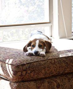 Beagle Puppy .Audi