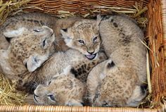 These four lion cubs were born seven weeks ago at Hagenbeck Zoo in Hamburg. The male lions have been named Batou and Bandele and the females Naledi and Sakina