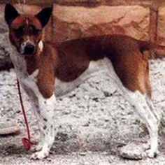 20 svetových najvzácnejších psie plemená   Mimo Online