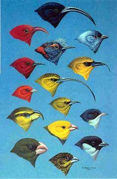 native hawaiian birds images - Yahoo! Search Results