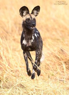 African Wild Dog jump running in search of possible prey by Hendri Venter on 500px