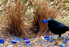 This Bower bird decorates his nest with blue plastic bottle tops. The male Bower bird likes to collect all objects blue to attract a mate.