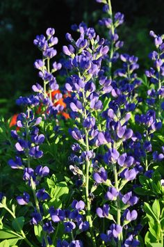 Great Perennials for Sun (All of Them Deer Resistant)