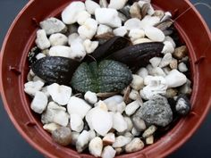 81393 10 Haworthia 'Springbokbegonia's' (selection)