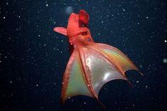 vampire octopus   Vampire Squid