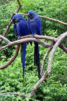 parrots blue-dal-vivo
