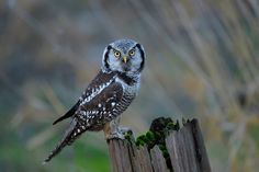 Photograph Northern Hawk Owl by Norman Ng on 500px