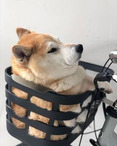 Classy Issues Inspo by Mux Jasper Funny Animal Memes, Cute Funny Animals, Cute Baby Animals, Animals And Pets, Cute Puppies, Cute Dogs, Dogs And Puppies, Japanese Dogs, Shiba Inu