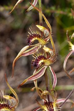 Club-lipped Spider-orchid: Caladenia corynephora Strange Flowers, Exotic Flowers, Amazing Flowers, Orchid Flowers, Brown Flowers, Weird Shapes, Unusual Plants, Wild Orchid, My Secret Garden