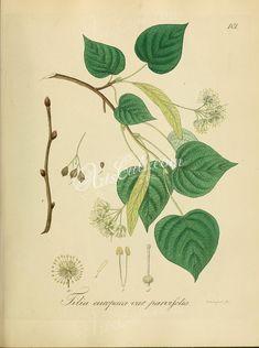 tilia europaea parvifolia      ...