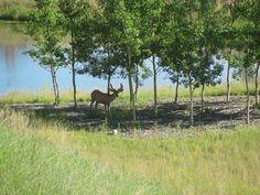 Deer in nature. Fish Creek Park, Public Elementary School, Bike Path, Catholic, Deer, Nature Photography, Pictures, Photos, Roman Catholic