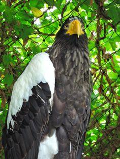 Riesenseeadler eagle
