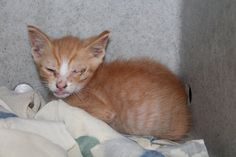 Foster / Rescue Only - Philly ACCT - Lambo (A23589568) URGENT - call 267-385-3800/email lifesaving@acctphilly.org This sweet cute, creamsicle kitten is coming down with a serious cold, and needs foster or rescue! He is a 6 week old kitten who was dropped off after found abandoned on the street. Staff noted poor Lambo's eye was completely crusted shut from his cold. Lambo needs to leave the shelter so he can rest up in a quiet and relaxing home. Lambo needs your love!