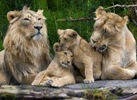 Löwen im Zoo Zürich